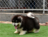 阿拉斯加犬出售 多少钱 黑色阿拉斯加