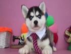 嘉兴出售哈士奇幼犬嘉兴哪里有卖纯种健康哈士奇犬包健康