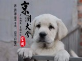 莆田哪里有卖纯种拉布拉多犬的