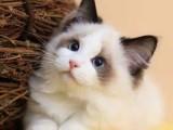 美短,英短,银渐层,蓝猫,蓝白猫,银点,加菲,布偶,金吉拉等