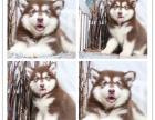 阿拉斯加 幼犬纯种大型犬聪明伶俐 包健康阿拉斯加雪