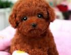 株洲哪有泰迪犬卖 株洲泰迪犬价格 株洲泰迪犬多少钱