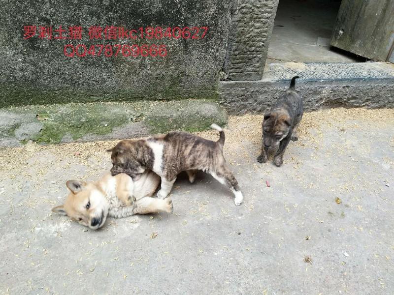 纯种土猎犬优惠出售价格品相好 优质售后服务