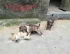 土猎犬幼犬养殖基地活泼兴奋 胆大凶猛