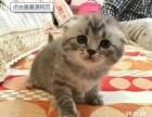 琳之家宠物用品出售可爱的折耳猫咪