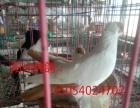 衡水开发区观赏鸽出售,高飞鸽,白毛领,黑毛领,红点子,倒插等