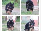 纯种德国牧羊犬,黑背弓背,疫苗全健康保证
