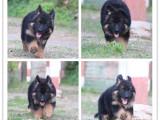狗年特惠 大骨量德国牧羊犬 全国包邮签协议售保送大礼包