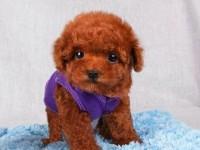 上海出售純種泰迪幼犬茶杯泰迪犬長大不的貴賓犬小