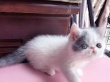 自家养加菲猫扁脸猫找新家