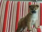 济南纯种柴犬照片 济南哪里卖的柴犬纯种健康 美系柴犬