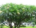 发财树租赁养护 专业办公室绿植盆栽租恁养护