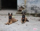 低价出售品种好的马犬 马犬图片