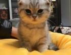 济南哪里有苏格兰折耳 高地折耳猫卖 疫苗已做保健康