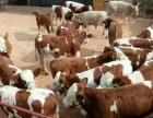 大量品种肉牛牛犊西门塔尔利木赞夏洛莱安格斯出售