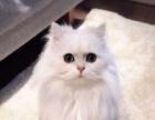 !!!米米猫舍繁殖美短--英短-加菲 包纯种 签协议
