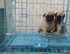 上门看狗低价特惠 巴哥幼犬 品种齐全 签协议包健康