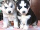 出售三火蓝眼哈士奇犬一包健康一签协议,可上门可发货