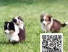 喜乐蒂纯正健康出售-幼犬出售,当地可以上门挑选