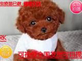 火爆热销中专业基地直销出售泰迪幼犬