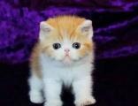 高品質CFA高品質異國短毛貓加菲貓 保證健康
