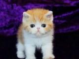 高品质CFA高品质异国短毛猫加菲猫 保证健康