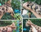 低价出售孟加拉小豹猫最低1500