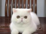 江苏苏州黄白加菲猫一般多少钱一只