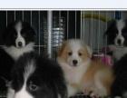 基地直销CKU证书边牧等各类名犬有正规营业执照