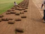 北京房山琉璃河園林綠化草坪基地供應高羊茅早熟禾冷季型混播草坪