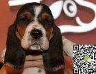 纯种巴吉度猎犬价格 纯种巴吉度猎犬多少钱