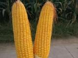 耐高温耐密植玉米新品种高产玉米种子鲁研23