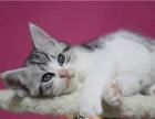 出售纯种家养美国短毛猫颜色 公母多选 包健康签协议