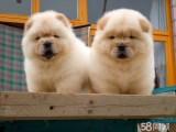 岳阳哪有松狮犬卖 岳阳松狮犬价格 岳阳松狮犬多少钱