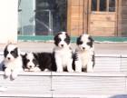 扬州哪里有宠物狗卖七通三白血统纯骨板大边境牧羊犬