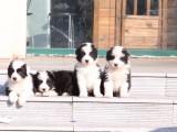 芜湖哪里有宠物狗卖 七通三白血统纯骨板大边境牧羊犬