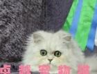 甜美可爱金吉拉小猫咪多窝可选弟弟妹妹都有可以送货