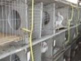 长毛兔 宠物兔 新西兰肉兔 杂交野兔