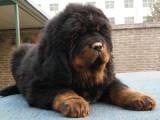 石家庄哪有藏獒犬卖 石家庄藏獒犬价格 石家庄藏獒犬多少钱