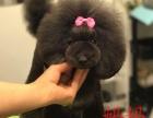重庆好BB专业贵宾犬舍种公级大毛量小体黑色贵宾泰迪