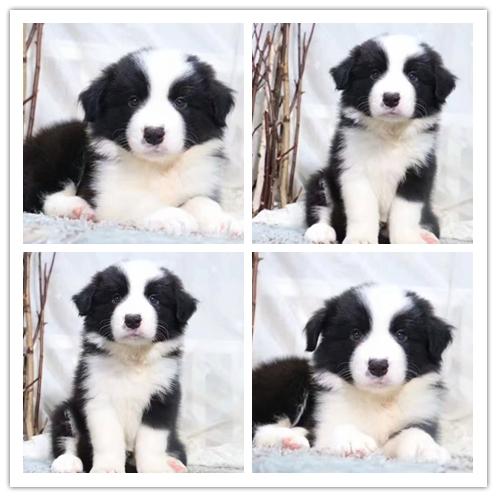 正规繁殖边牧犬 疫苗齐全终身质保 可配种签协议