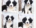 正规犬舍出售登录冠军直销后代/赛级双血统边境牧羊犬