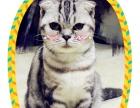 家养1岁美国短毛折耳猫包子脸母猫2500元