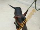 出售纯种杜高犬 比特犬 卡斯罗 价格漂亮