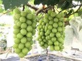 优质阳光玫瑰葡萄苗生产商 香印青提苗 欢迎实地考察定购