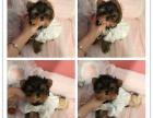 金头银背娃娃脸约克夏,活泼可爱实物照片保证纯种健康
