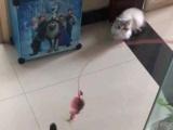 出售自家加菲猫宝宝