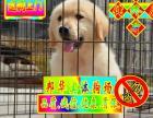买金毛犬来实体犬舍——签协议质保——种公配种可送货