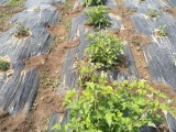 黑加仑苗优质推广品种
