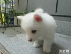重庆哪里有卖银狐犬 重庆哪里买得到纯种银狐犬 多少钱 图片